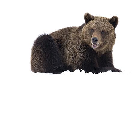 winter_brown_bears_460_429