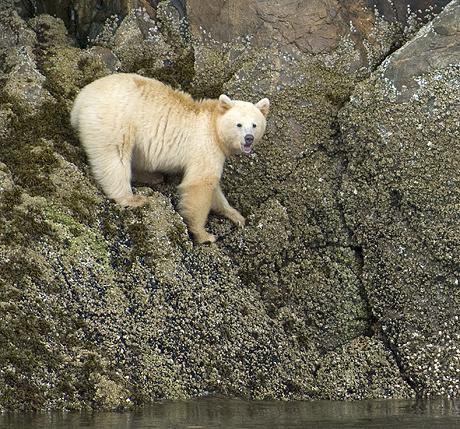 Spirit / Kermode bear (Ursus americanus kermodei), white phase of American black bear, standing on rocks, Gribbell Island, the Great Bear Rainforest, western Canada
