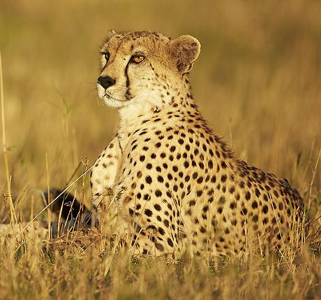 maasai_mara_big_cats_460_429