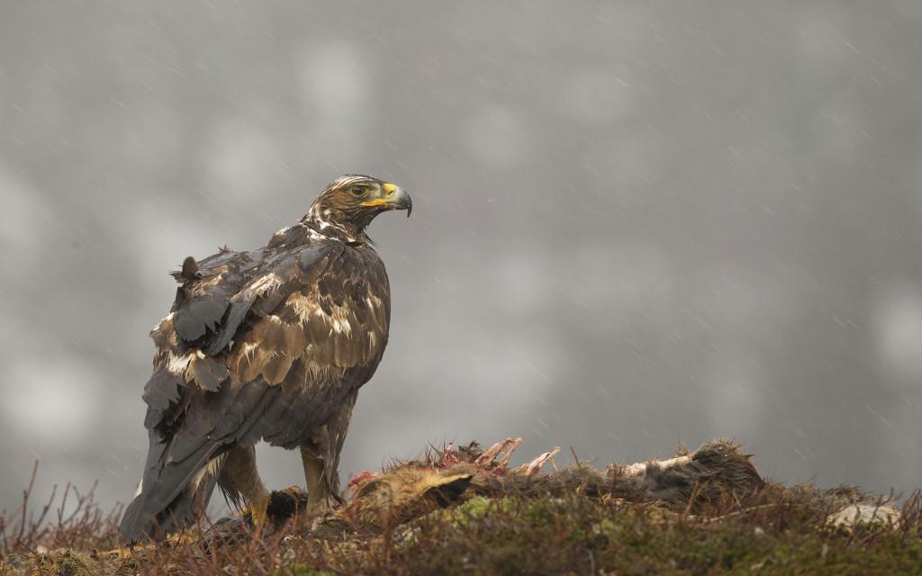 Golden eagle, Aquila chrysaetos, adult female on fox kill, Norway, Nr Trondheim.