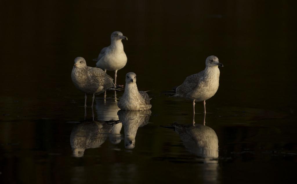 Herring gull, Larus argentatus, in dark water, Norway coast, Nr Trondheim.