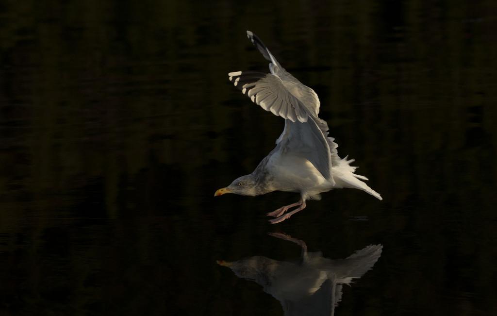 Herring gull, Larus argentatus, in dark water, landing-taking of, flight, Norway coast, Nr Trondheim.