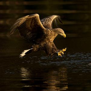 White-tailed-eagle-0370-301