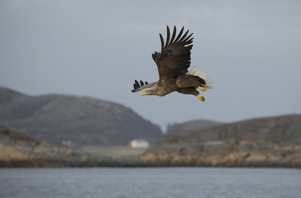 White-tailed eagle, Haliaeetus albicilla, in flight, Norway coast, Nr Trondheim.