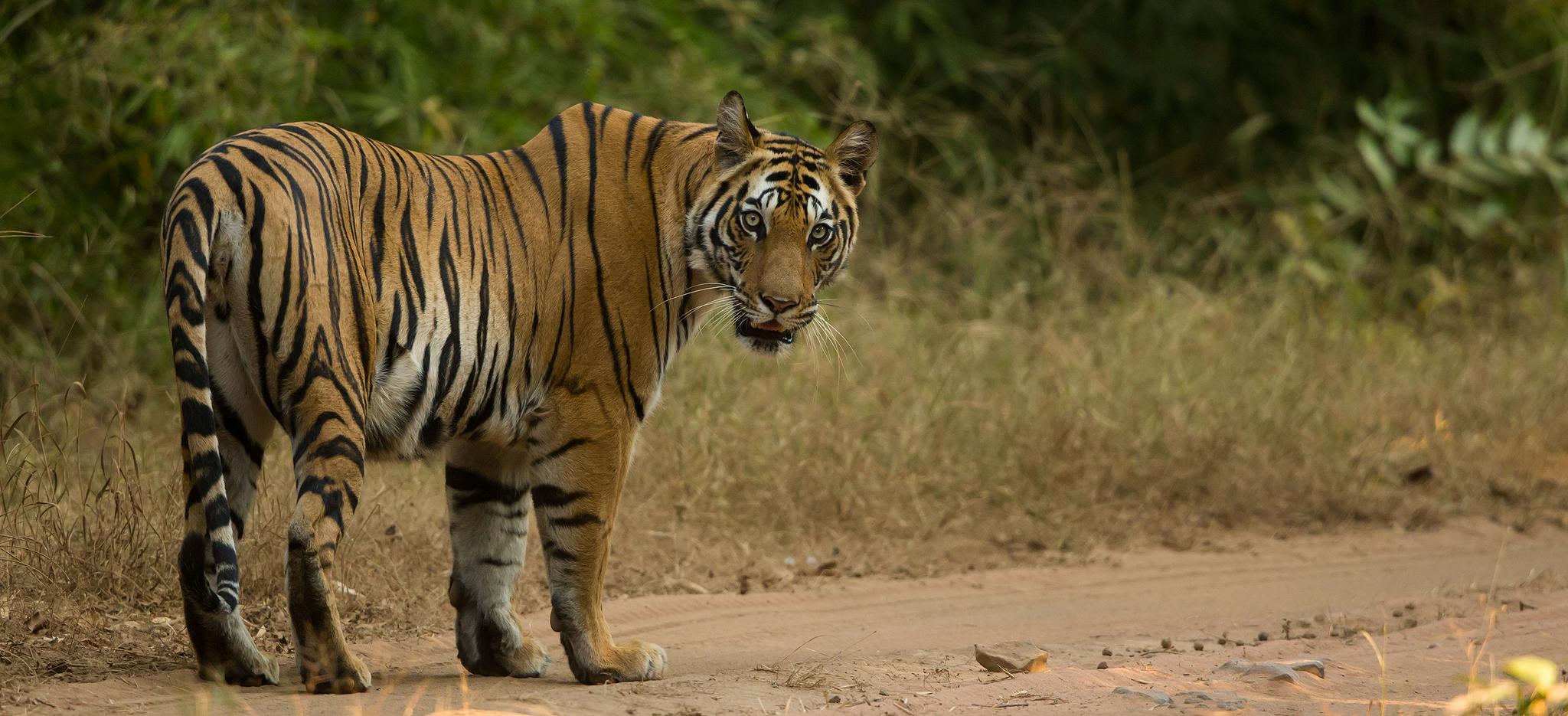 Majestic Tigers – India – 2020