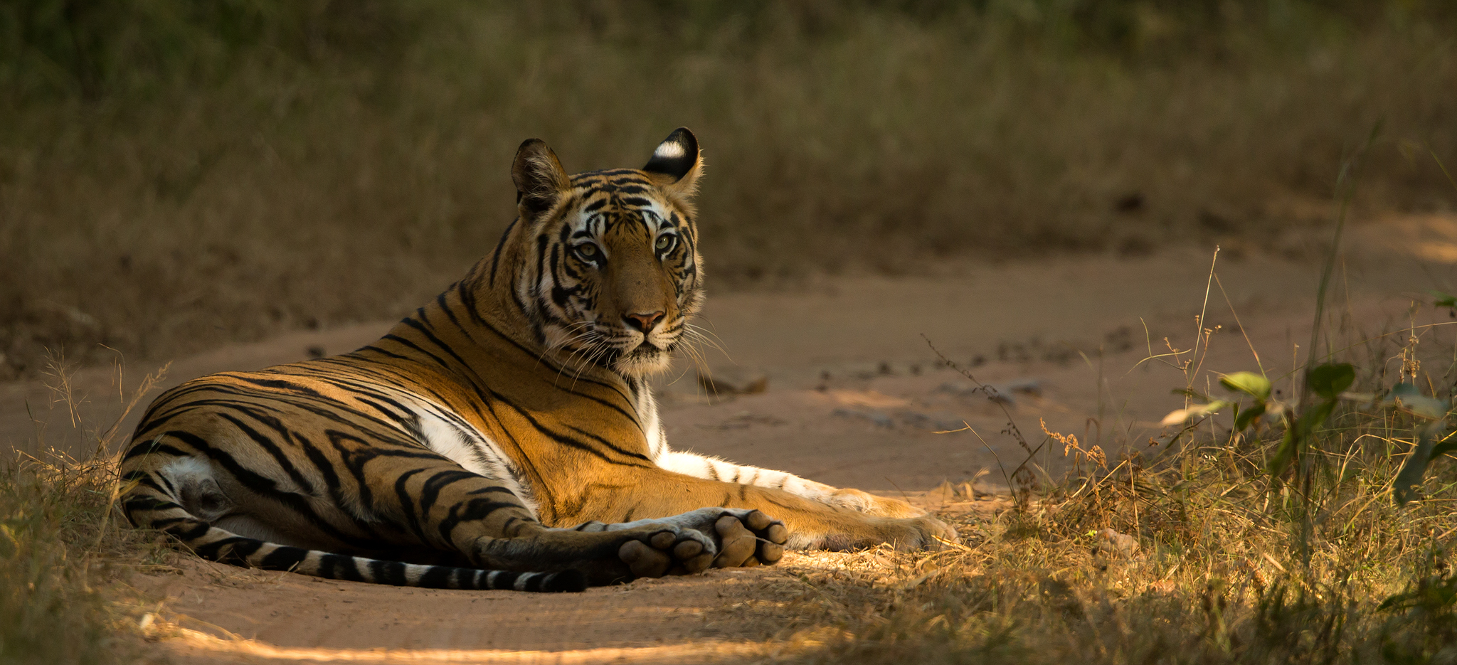 Majestic Tigers - India - 2020 - Natures Images