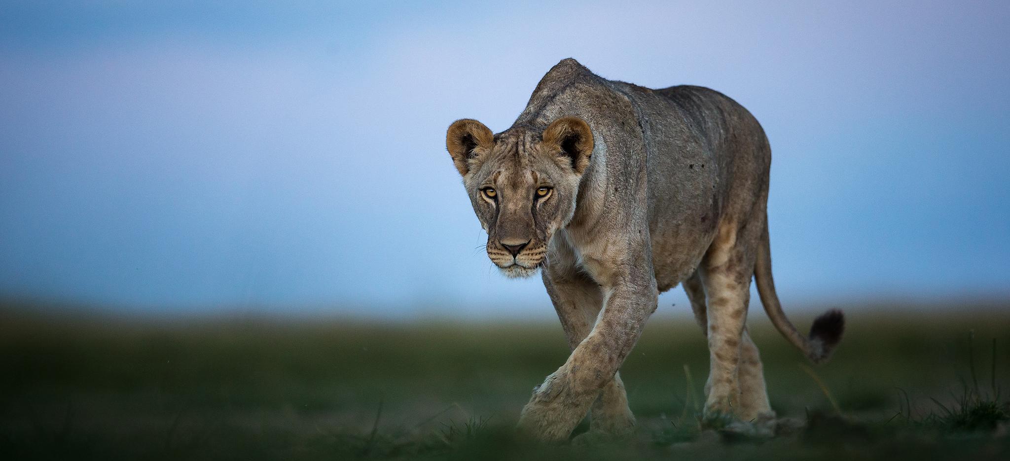 Kenya's Big Cats 2 - Africa - 2020 - Natures Images